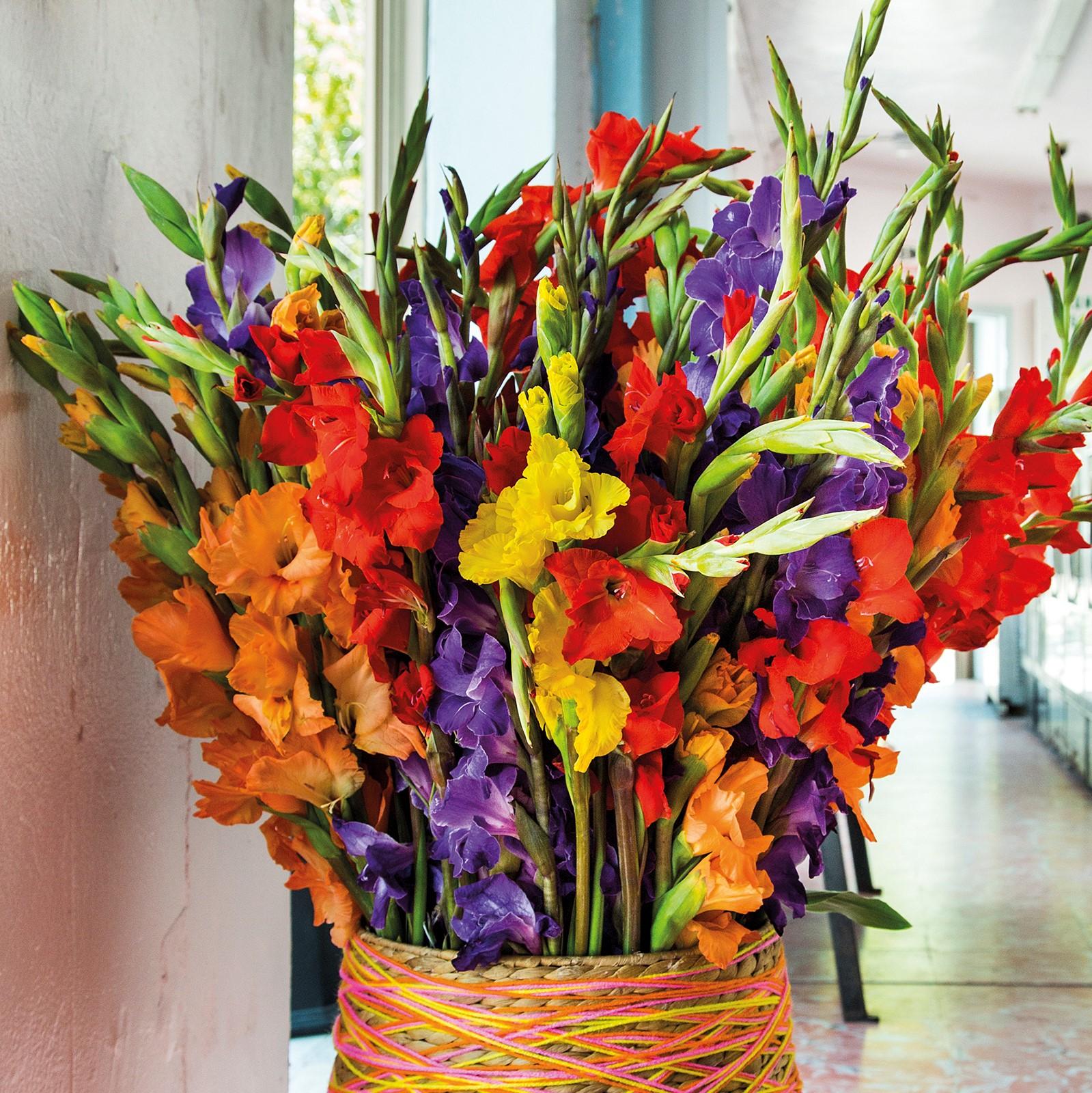 Gladiolus Miami 2015